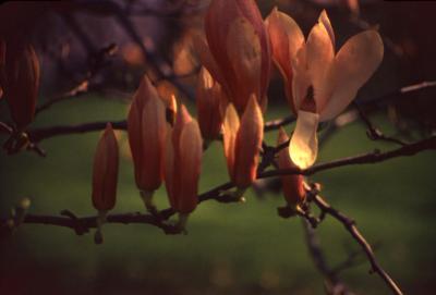 Magnolia (magnolia), flowers detail