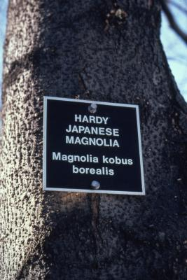 Magnolia kobus var. borealis (northern Japanese magnolia), bark detail with signmarker