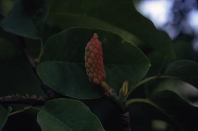 Magnolia acuminata (cucumbertree), fruit detail