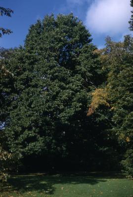 Magnolia acuminata (cucumbertree), habit, early fall