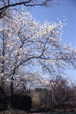 Magnolia kobus var. borealis (northern Japanese magnolia), habit, spring