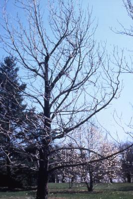 Magnolia acuminata (cucumbertree), habit