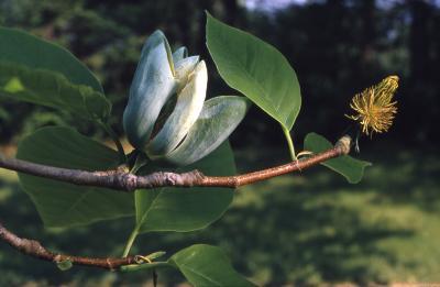 Magnolia acuminata (cucumbertree), detail of flower and leaves on twig