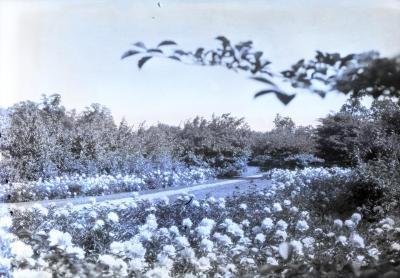 Joy Path through peonies in bloom