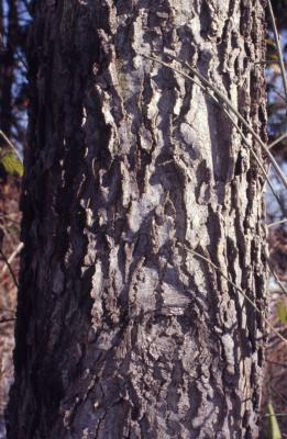 Celtis occidentalis (hackberry), bark on tree