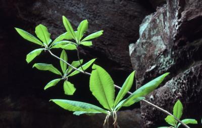 Asimina triloba (pawpaw), new leaves detail