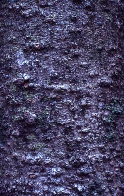 Asimina triloba (pawpaw), bark detail