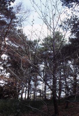 Asimina triloba (pawpaw), habit, spring