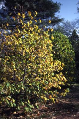 Asimina triloba (pawpaw), fall foliage