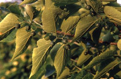 Celtis occidentalis (hackberry), fruit and leaves detail