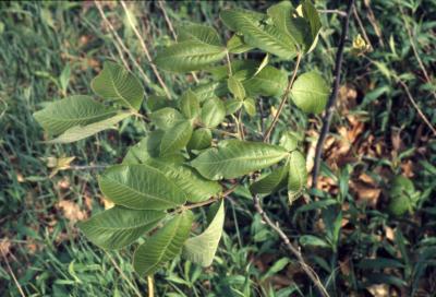 Carya ovata (shagbark hickory), leaves on young tree