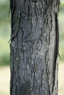 Carya ovata (shagbark hickory), maturing young bark
