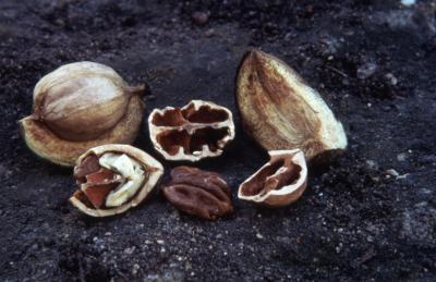 Carya ovata (shagbark hickory), study of fruit