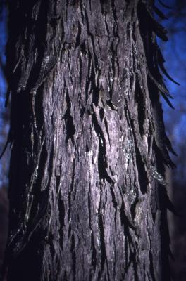 Carya ovata (shagbark hickory), winter bark