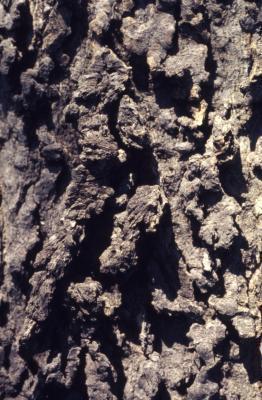 Celtis occidentalis (hackberry), bark detail