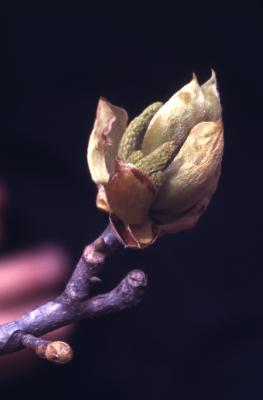 Carya ovata (shagbark hickory), flowers and buds detail