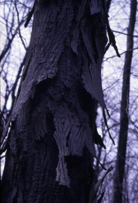 Carya ovata (shagbark hickory), trunk with bark detail