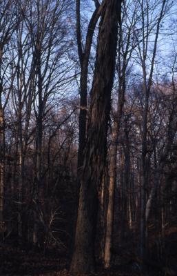 Carya ovata (shagbark hickory), bark on tall tree