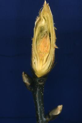 Carya ovata (shagbark hickory), terminal bud detail