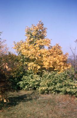 Carya ovata (shagbark hickory), habit, fall