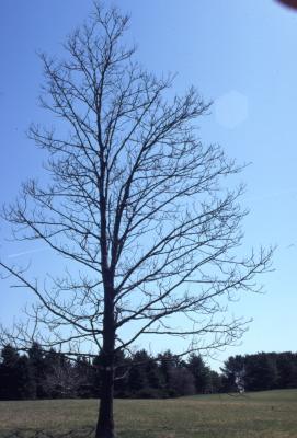 Carya ovata (shagbark hickory), habit, spring
