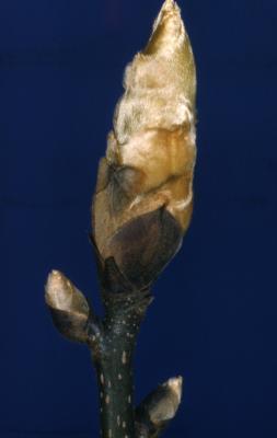 Carya ovata (shagbark hickory), buds detail