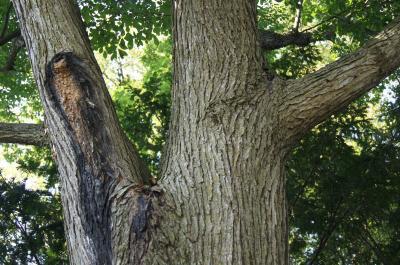 Ulmus 'Morton Glossy' (TRIUMPH) (TRIUMPH™ Elm), bark, mature