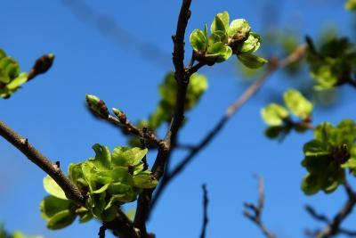 Ulmus 'Morton Glossy' (TRIUMPH) (TRIUMPH™ Elm), leaf, new