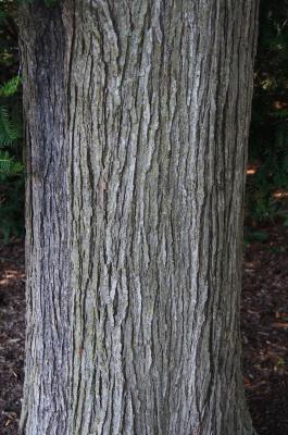 Ulmus 'Morton Glossy' (TRIUMPH) (TRIUMPH™ Elm), bark, trunk