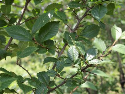 Ulmus (hybrid) (Hybrid Elm), leaf, summer
