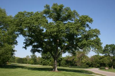 Ulmus (carpinifolia x japonica) (Smooth-leaved-Japanese Hybrid Elm), habit, spring