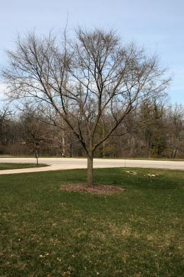 Ulmus 'Morton Plainsman' (VANGUARD) (VANGUARD™ Elm), habit, spring