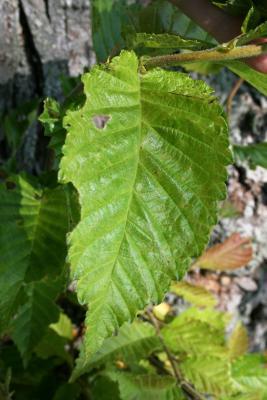 Ulmus (carpinifolia x japonica) (Smooth-leaved-Japanese Hybrid Elm), leaf, spring
