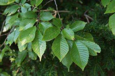 Ulmus 'Morton Glossy' (TRIUMPH) (TRIUMPH™ Elm), leaf, upper surface