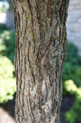 Ulmus 'Morton Glossy' (TRIUMPH) (TRIUMPH™ Elm), bark, stem