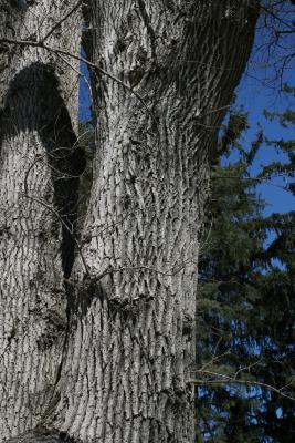 Ulmus (carpinifolia x pumila) (Smooth-leaved-Siberian Hybrid Elm) , bark, mature