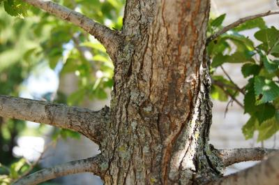 Ulmus 'Morton Glossy' (TRIUMPH) (TRIUMPH™ Elm), bark, branch