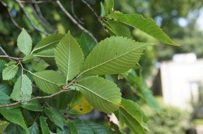 Ulmus 'Morton Glossy' (TRIUMPH) (TRIUMPH™ Elm), leaf, lower surface