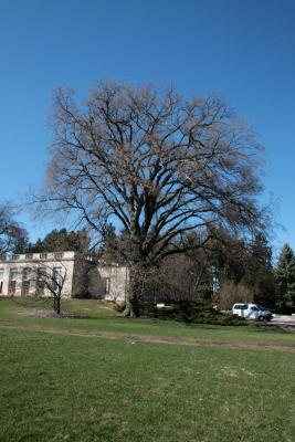 Ulmus americana (American Elm), habit, spring
