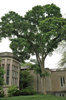Ulmus davidiana var. japonica 'Morton' (ACCOLADE) (ACCOLADE® Japanese Elm), habit, summer