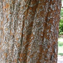 Ulmus parvifolia (Lacebark Elm), bark, mature