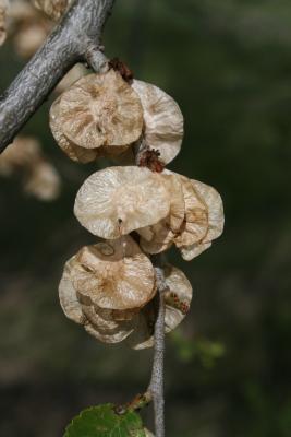 Ulmus pumila (Siberian Elm), fruit, mature