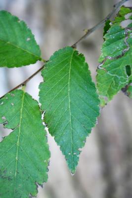 Ulmus pumila (Siberian Elm), leaf, upper surface