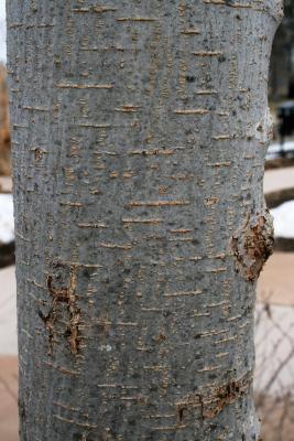 Ulmus davidiana var. japonica 'Morton' (ACCOLADE) (ACCOLADE® Japanese Elm), bark, trunk