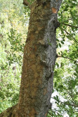 Ulmus parvifolia (Lacebark Elm), bark, branch