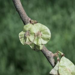 Ulmus rubra (Slippery Elm), fruit, mature