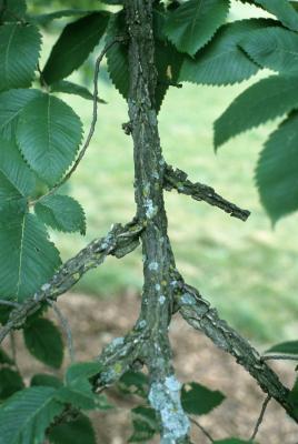 Ulmus thomasii (Rock Elm), bark, twig