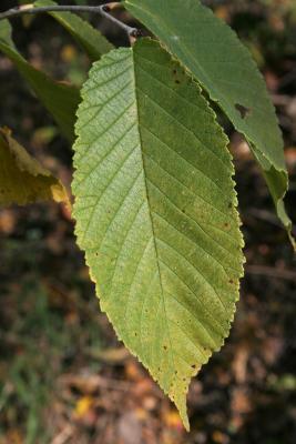 Ulmus rubra (Slippery Elm), leaf, upper surface