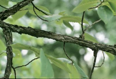 Ulmus thomasii (Rock Elm), bark, branch