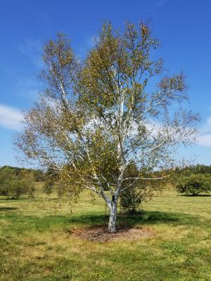 Betula 'Madison' (WHITE SATIN™ Birch), habit, fall